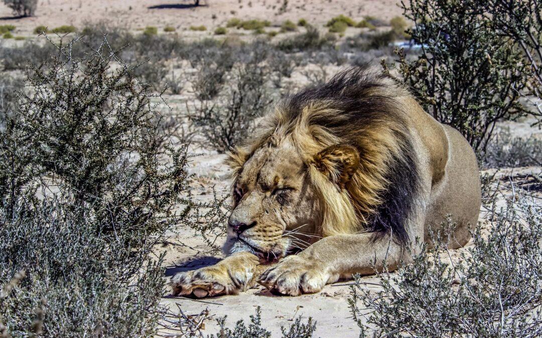 https://pixabay.com/photos/male-lion-lion-kalahari-desert-4818202/